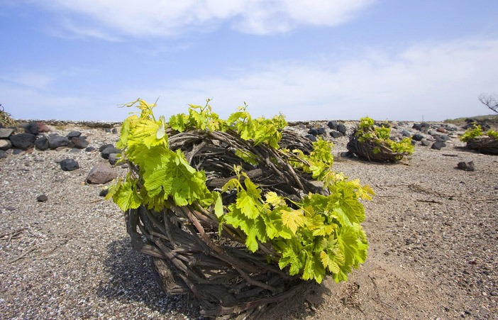 Vine cultivation in Santorini